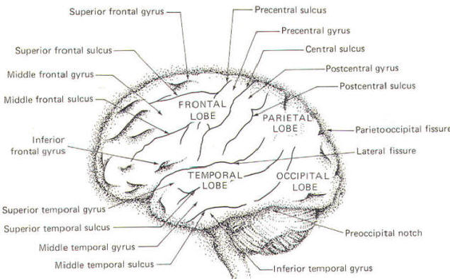 human neuroanatomy, Human Body